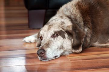 Old dog resting indoors