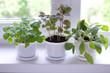 herbs on window - 79092624