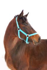 horse portrait isolated on white background