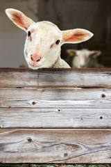 Lamb looking out of the barn
