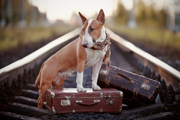 English bull terrier on rails with suitcases.