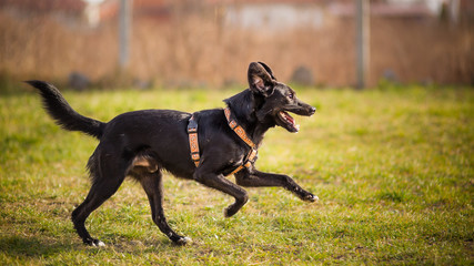 Profile Of A black Dog Running In Field