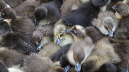 ovey crowded ducklings