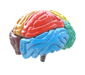 Brain lobes in different colors isolated on white background