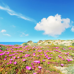 pink flowers by the shore in Platamona