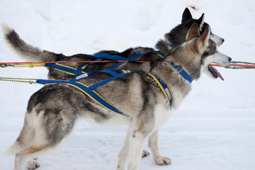 Two sled dogs with harness