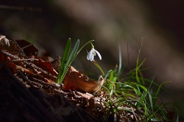 Single Snowdrop in the wood