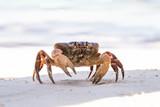 Hairy leg mountain crab, Tachai island, Thailand
