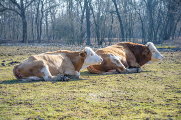 Two cows lying