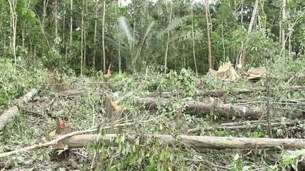Tropical rainforest felled for slash and burn agriculture