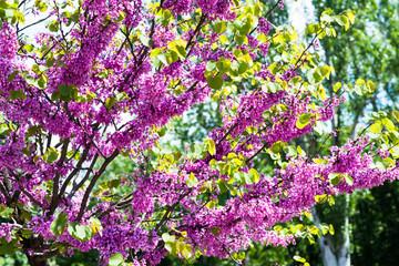 flowering trees pink