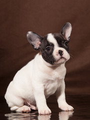 French Bulldog puppy (3 months old) - Stock Image