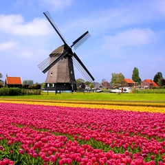 Colorful spring tulips with windmill, Netherlands