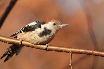 Middle Spotted Woodpecker (Dendrocopos medius) on a twig
