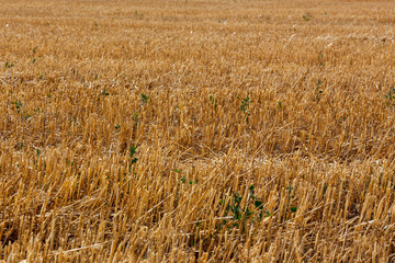 sloping field of wheat