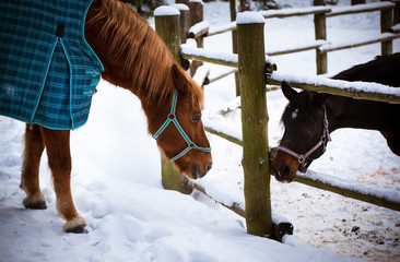Two horses on winter background