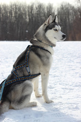 sled dog breed Siberian Husky in harness racing