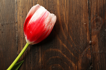 Tulip flower on wooden background
