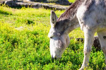 White donkey eating grass