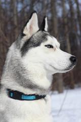 Husky looks