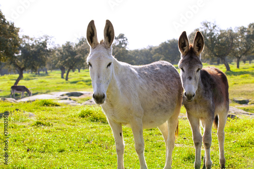 Poster Ezel Two donkeys at the countryside