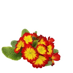 red yellow primulas isolated on white, spring flowers primrose