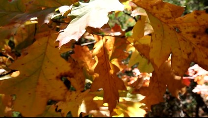 Northern red oak in autumn (Quercus rubra)