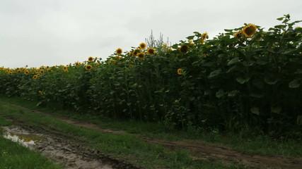 road along sunflowers field