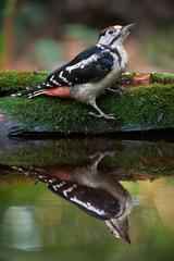 Woodpecker Near The Water
