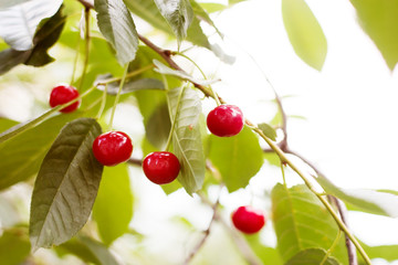 Ripe red cherries. Delicious fruits