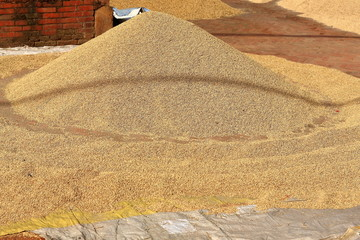 Paddy rice sundrying. Panauti-Nepal. 1093
