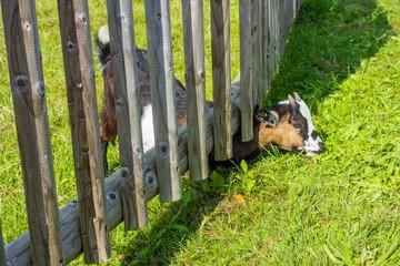 Ziege nascht in Nachbars Garten