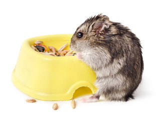 Mouse eating from yellow bowl