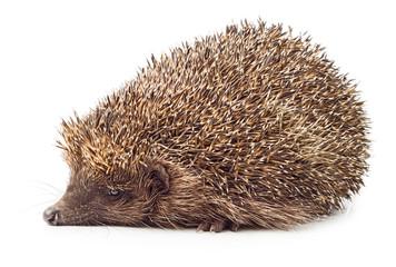 Hedgehog side view