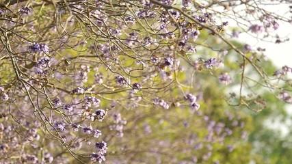Jacaranda flowers moving with wind