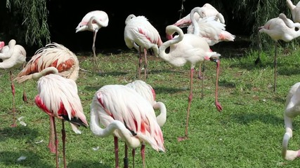 Pink and White Zoo Flamingo Walking on the Grass