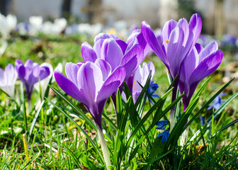 Springtime crocus in white and violet :)