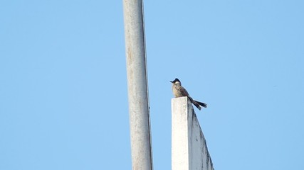 Couple Red-whiskered bulbul resting on the wall