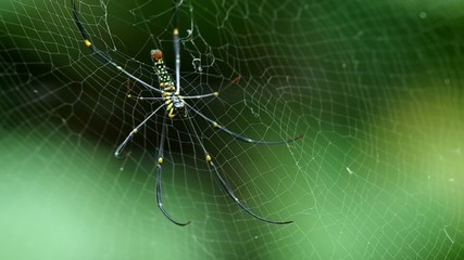 Footage of Golden silk orb-weaver spider resting on the web