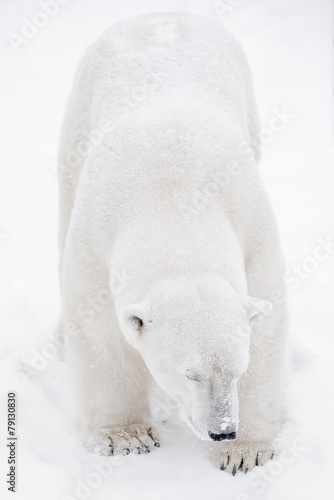Foto op Canvas Ijsbeer Young Polar Bear playing in snow