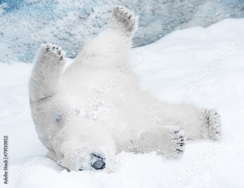 Aluminium Ijsbeer Young Polar Bear playing in snow