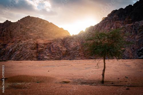Poster desert with alone tree at sunset. Arabian desert, Egypt.