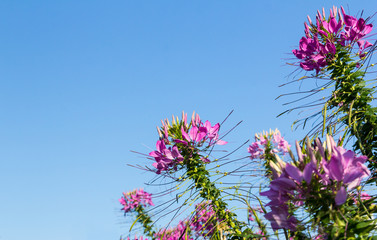 Pink cleome flowers
