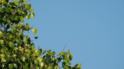 Sacred Fig Tree canopy moving with wind and myna bird flying