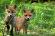 Foxes in the wild - 79133615