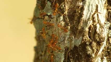 Group of Weaver ants are eating food on tree bark