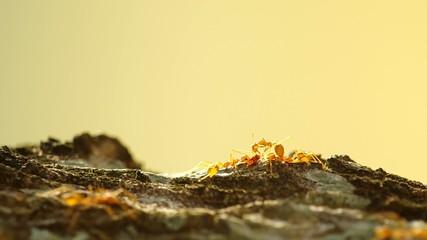 Weaver ants are grab food on tree bark