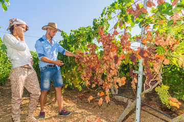 Disappointed farmers inspecting mildew parasite infected vines a