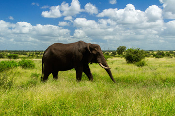 Elephant in savannah, Kruger national park, South Africa