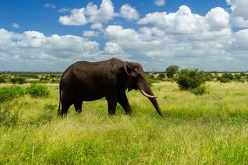 Elephant in savannah, Kruger national park, South Africa